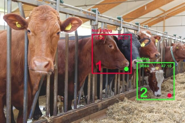 facial recognition in cows